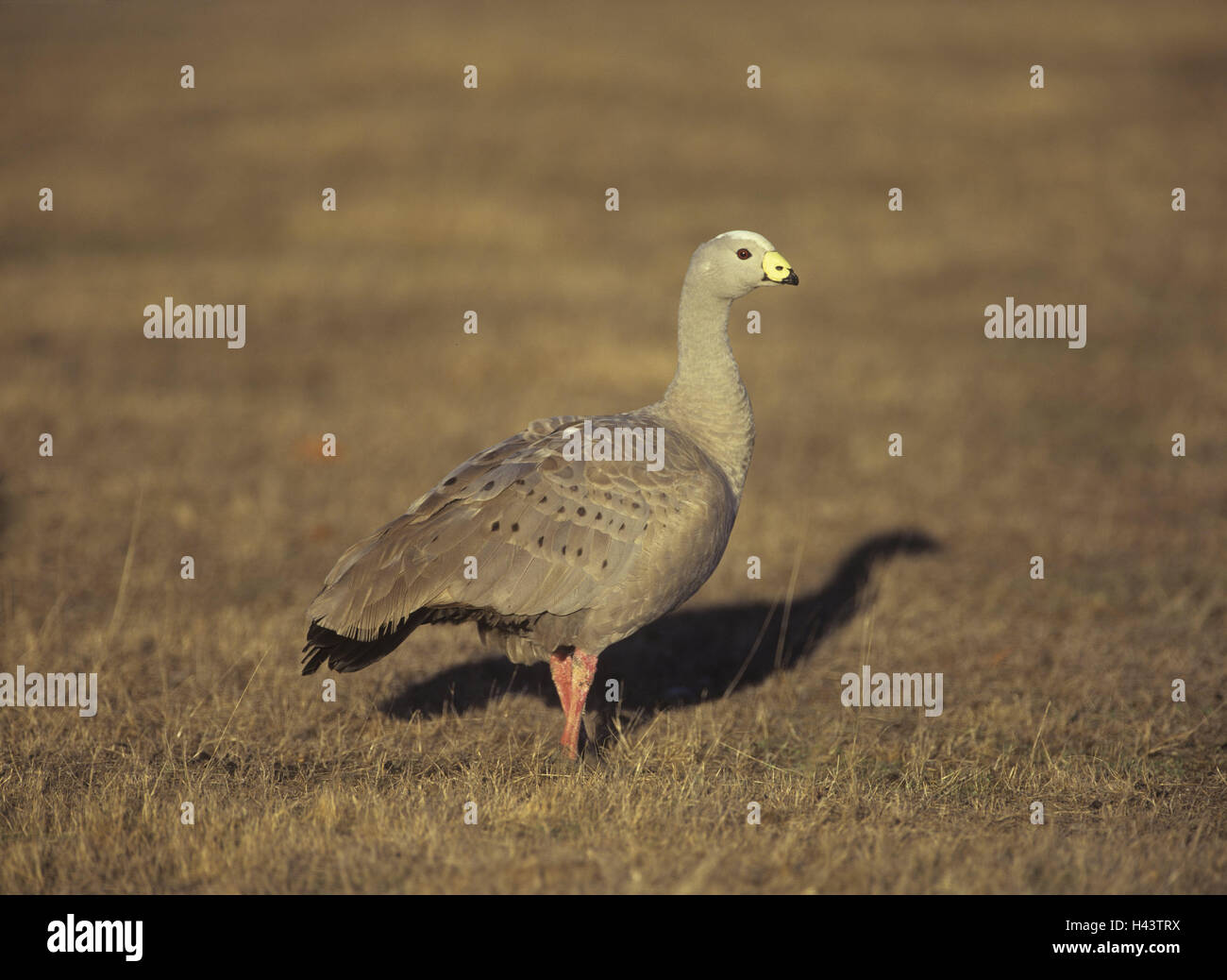 Australia, meadow, poultry goose, Cereopsis novaehollandiae, side view, Wildlife, animal world, animal, bird, goose, - Stock Image