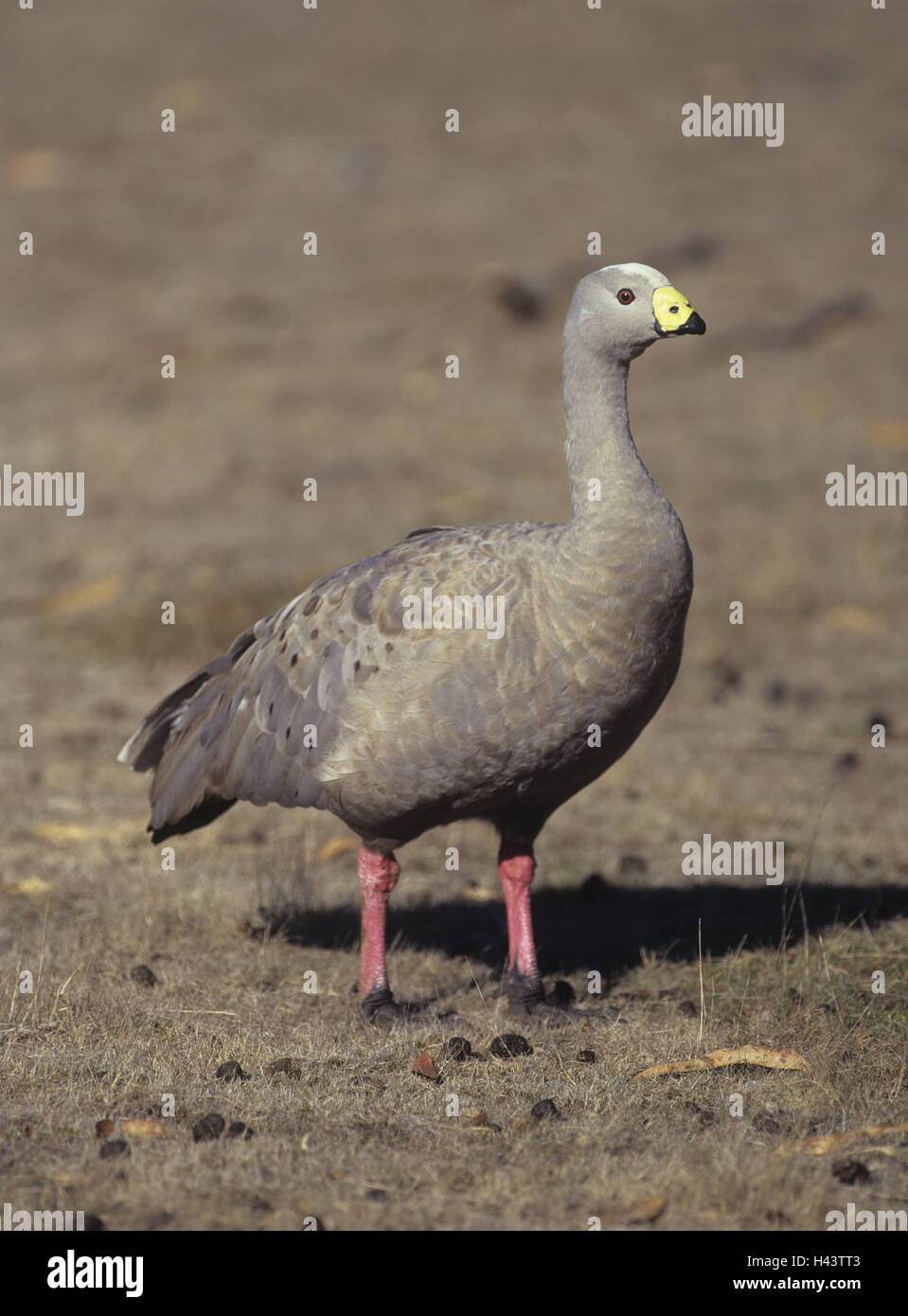 Australia, meadow, poultry goose, Cereopsis novaehollandiae, Wildlife, animal world, animal, bird, goose, Hoendergans, - Stock Image