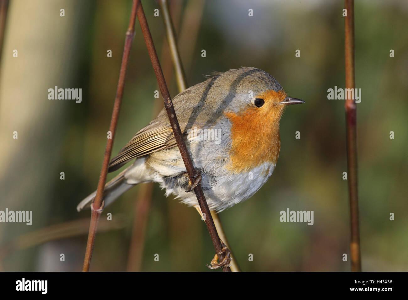 Redbreasts, branch, sit, side view, bird, songbird, Sperlingsvogel, aviation flycatcher, wild animal, animal, - Stock Image