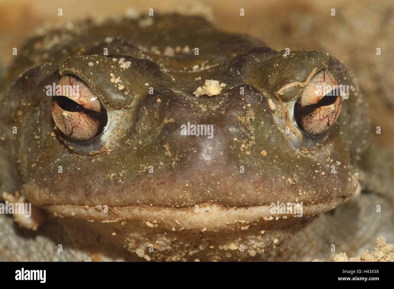 Colorado toad, close up, Colorado River toad, Sonora toad, toad, Bufonidae, amphibian, frog, frog Amphibians, detail, - Stock Image