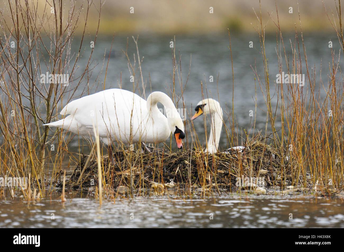 Hump swans, Cygnus olor, two, nest, hatch, - Stock Image