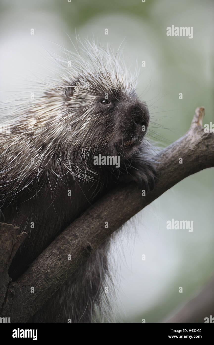 Tree, North American porcupine, Erethizon dorsatus, portrait, branch, zoo, game park, animals, wild animals, mammals, Stock Photo