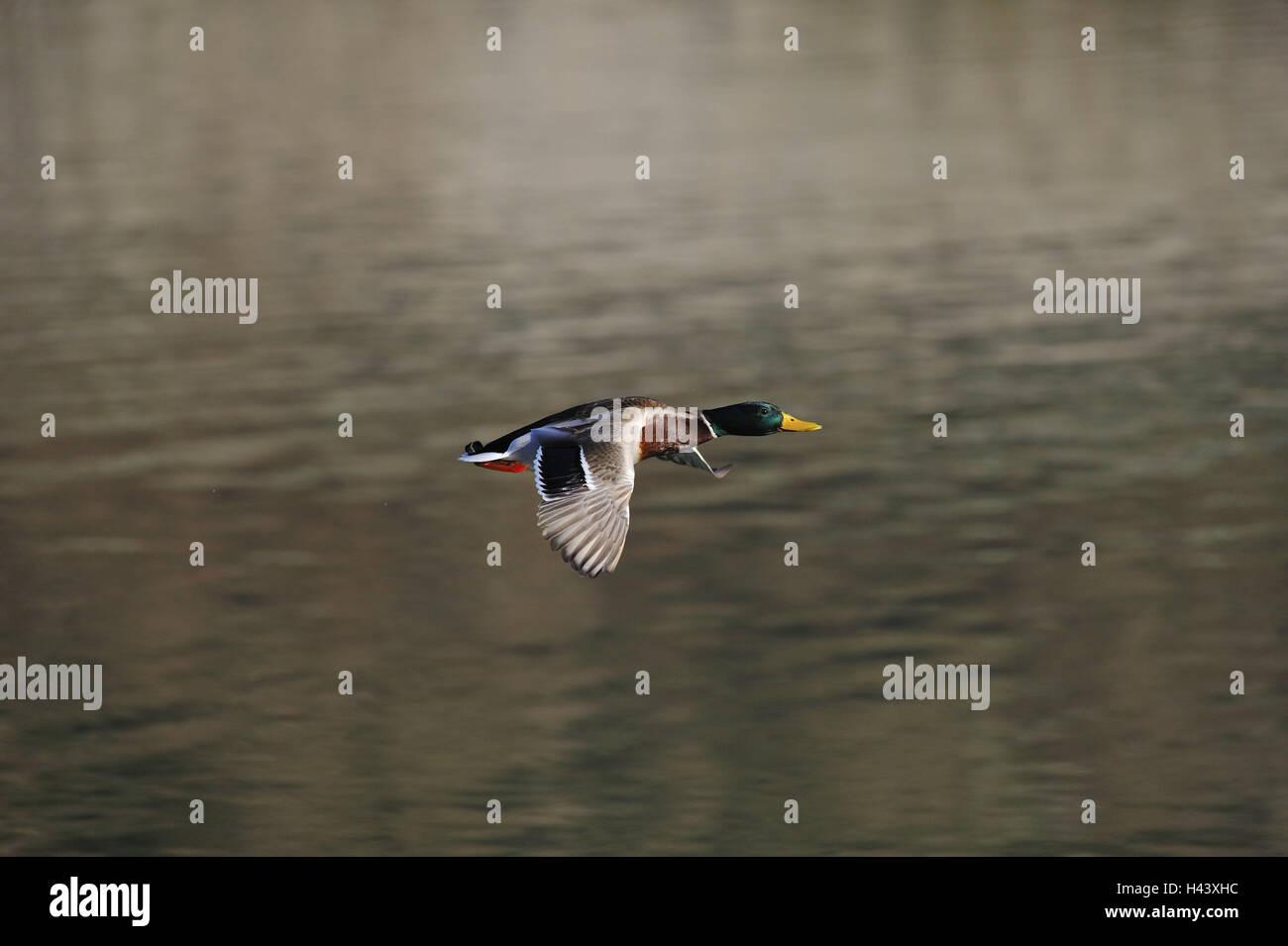 Lakes, mallard, Anas platyrhynchos, male, fly, swim waters, drake, goose's birds, duck, wild duck, swimming - Stock Image