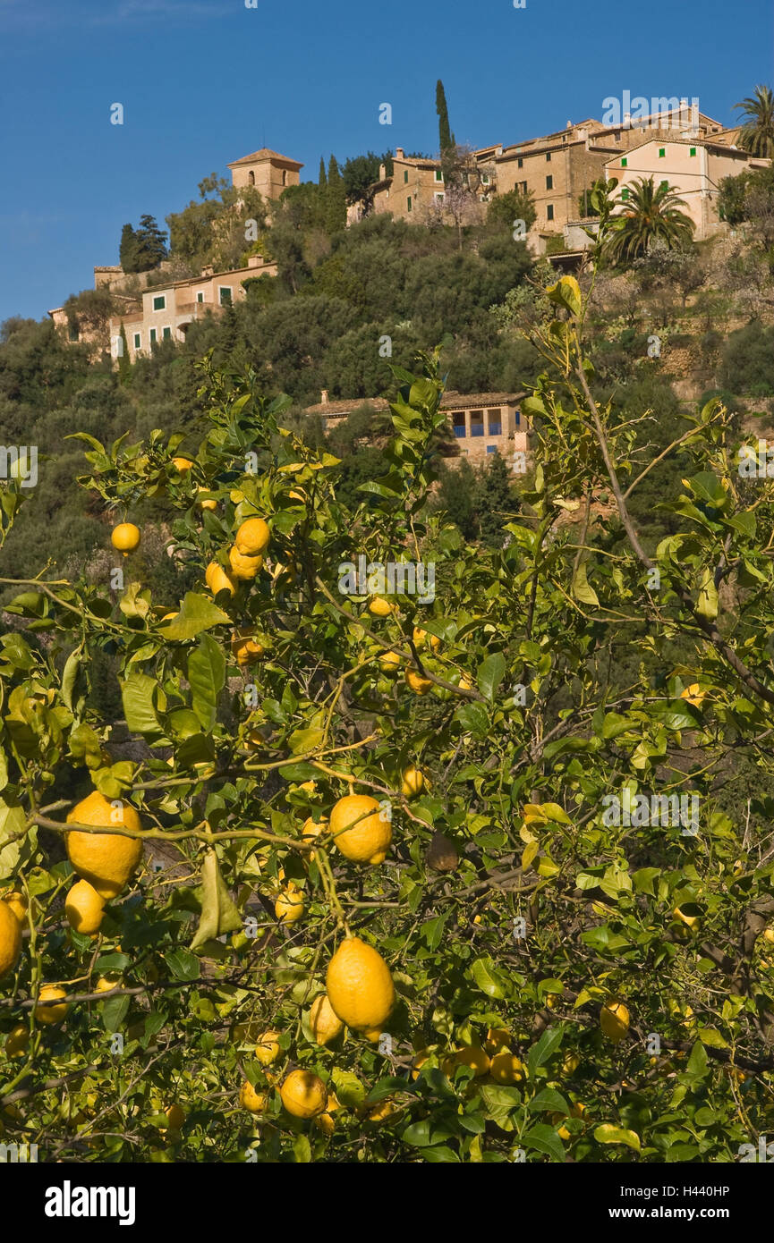 Lemon Trees Stock Photos Lemon Trees Stock Images Alamy