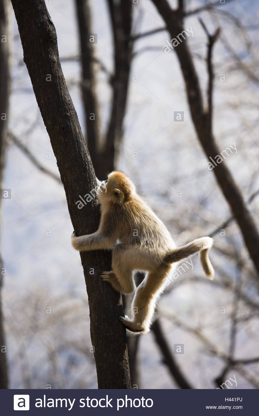 Young monkey, golden stump nose, Rhinopithecus roxellana, tree, climb, - Stock Image