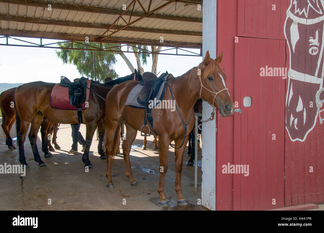 Barn with saddled chestnut brown horses in the open stall ...