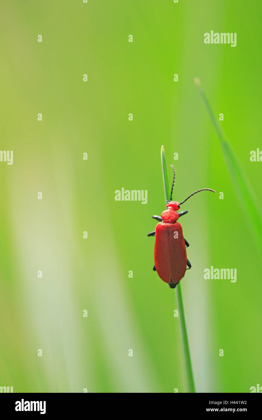 Blade grass, fire beetle, grass, leaves, stalk, point, pointed, green, animal, beetle, insect, red, radiant, nature, - Stock Image