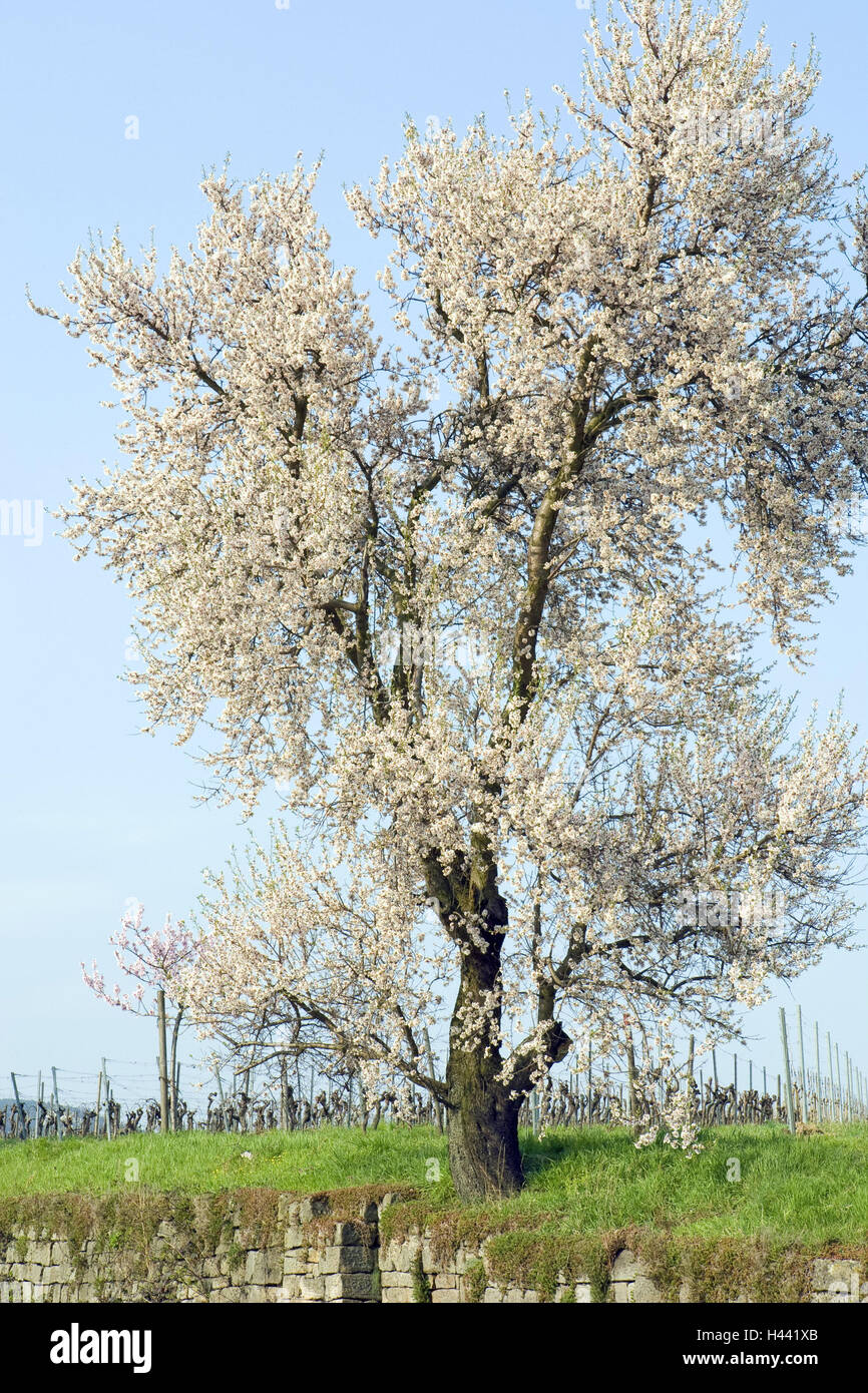 Almond tree, blossom, white, Stone wall, tree, tonsil blossom, blossoms, defensive wall, grass, spring, period of - Stock Image