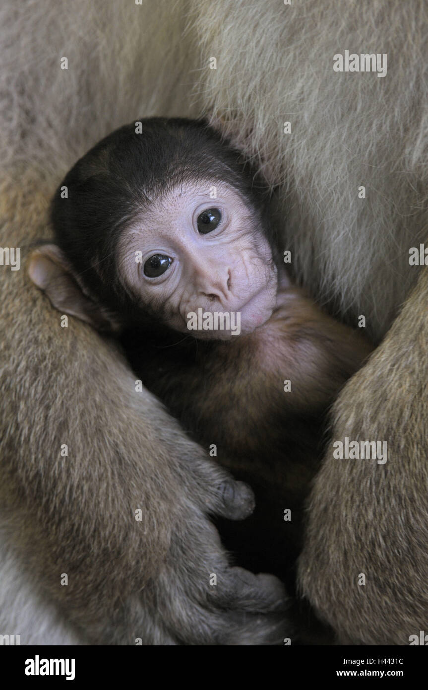 Berber's monkey, Macaca sylvana, Barbary Ape, young animal, portrait, - Stock Image