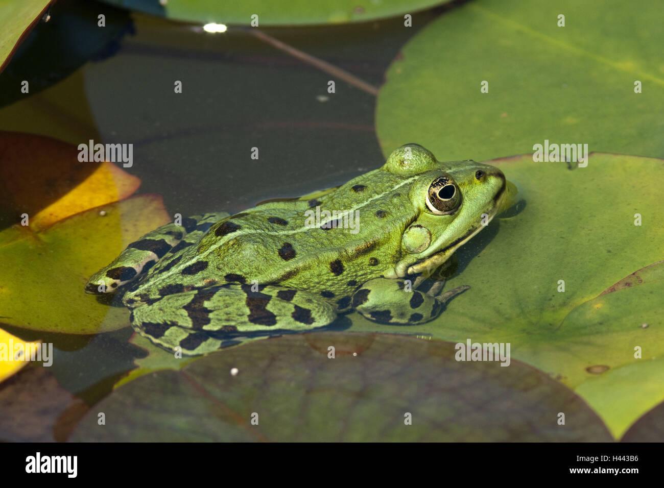 Pond frog, Rana esculenta, - Stock Image