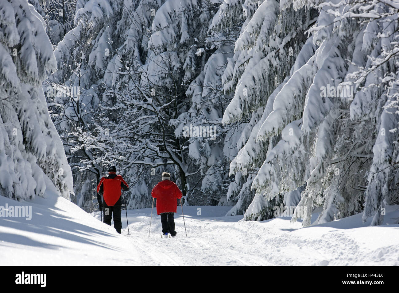 Wood, snow, two ski cross-country skiers, spruces, - Stock Image