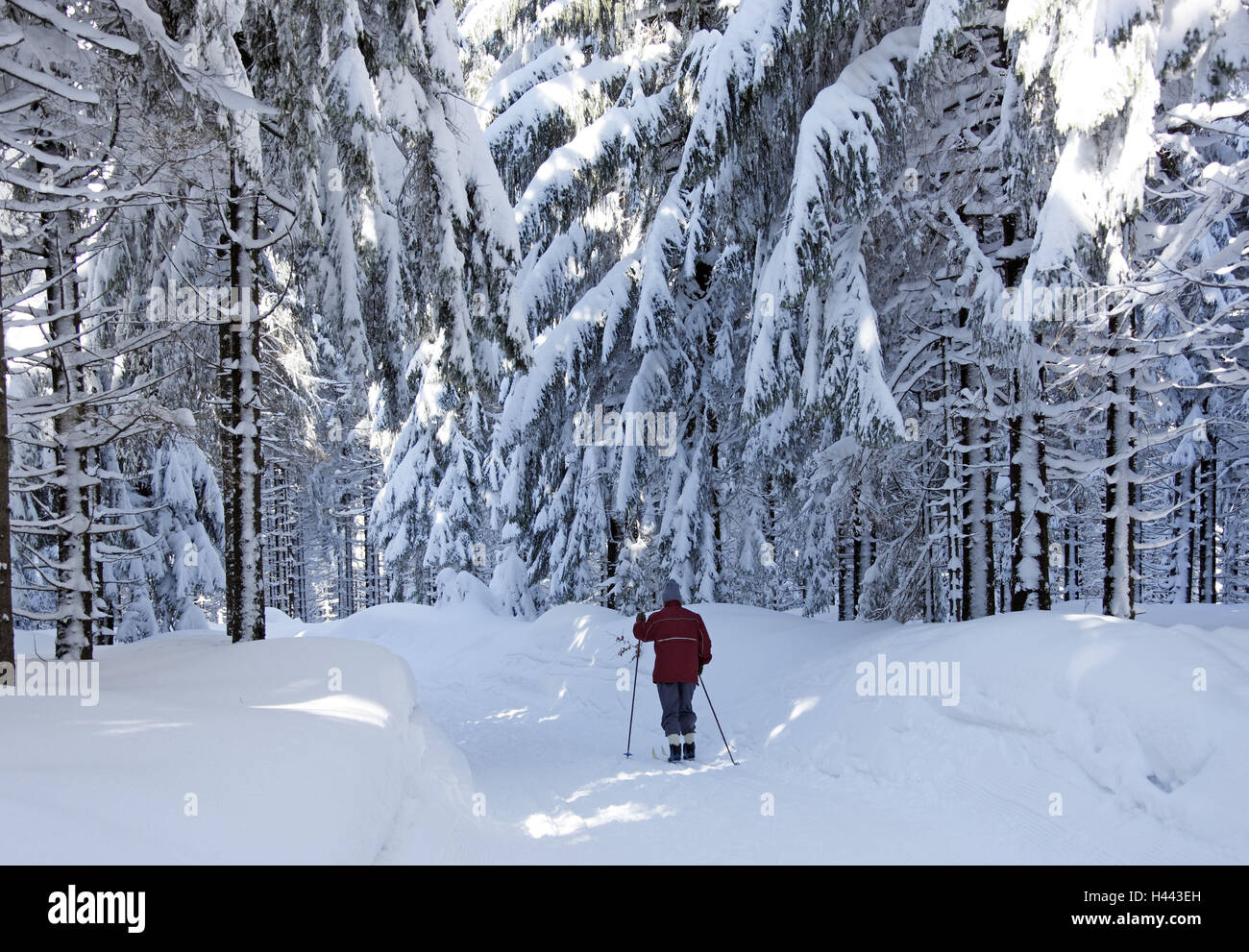 Racing dough, wood, spruces, snow, ski cross-country skier, - Stock Image