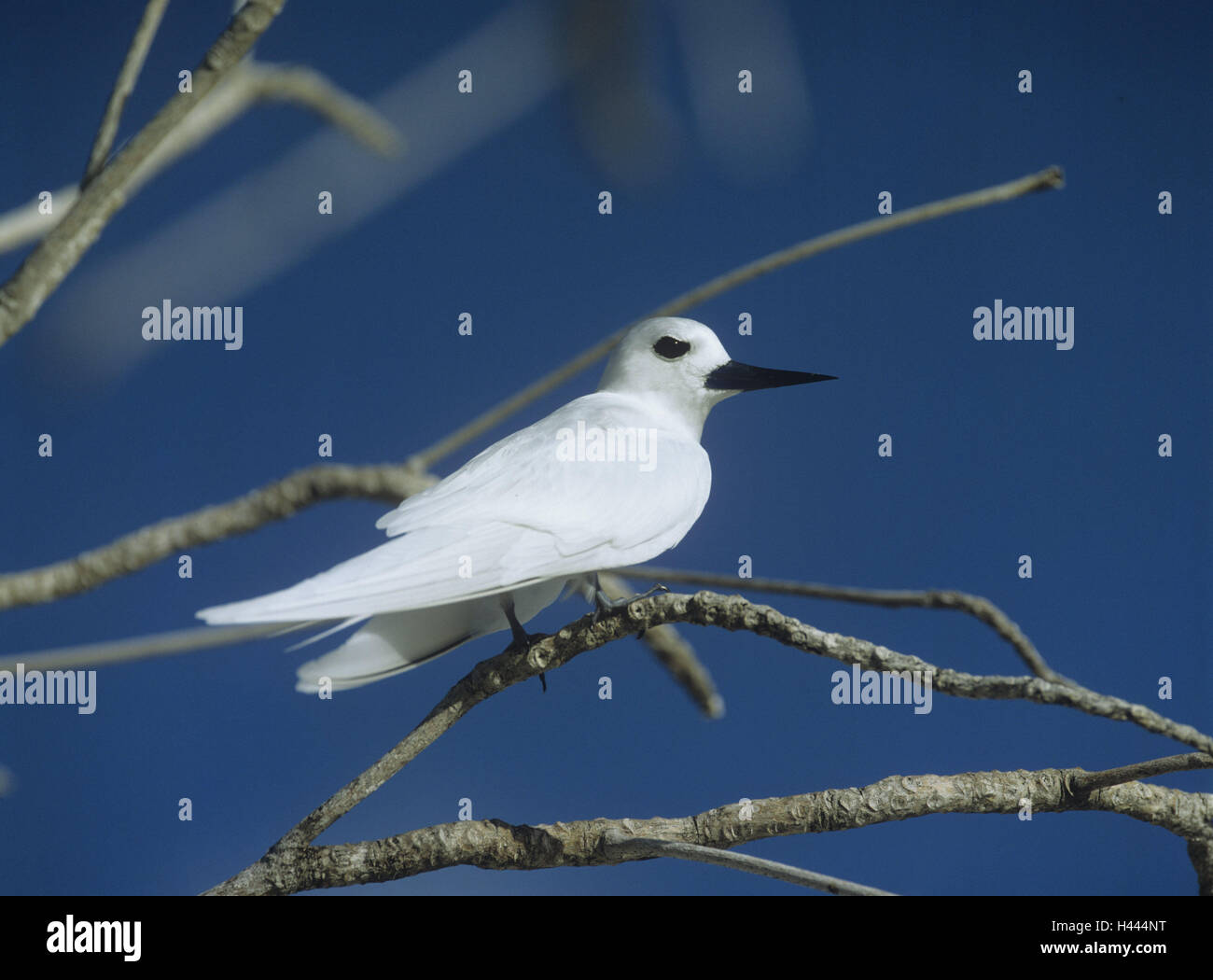 Forks, fairy tern, Gygis alb, bird, animal, tern, deliberate dive, the Seychelles, plumage, white, branches, sit, - Stock Image