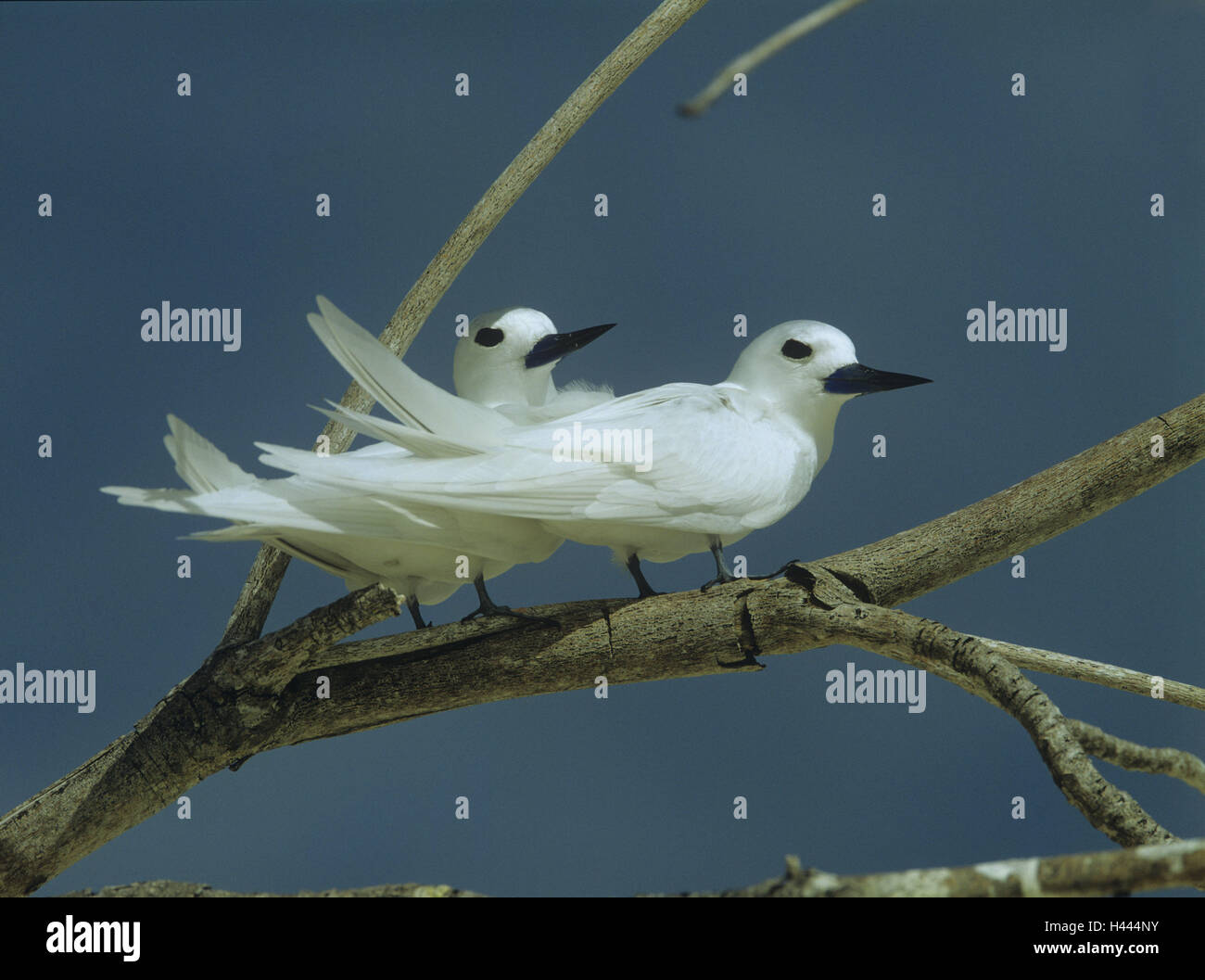 Forks, fairy terns, Gygis alb, birds, animals, terns, deliberate dives, the Seychelles, plumage, white, branches, - Stock Image
