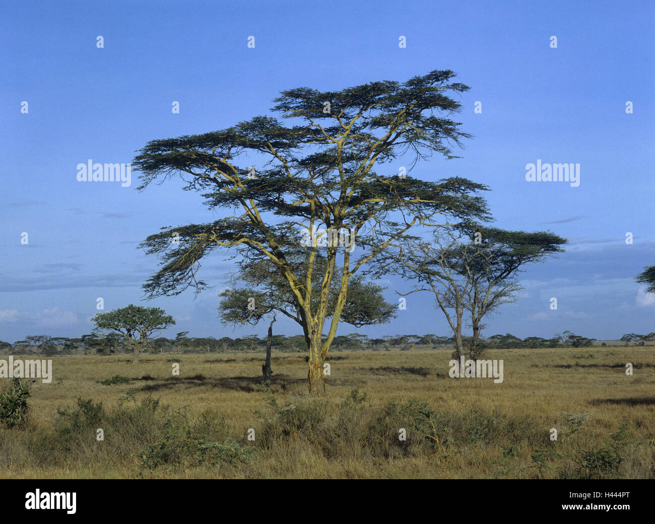 Africa, Ngorongorokrater, display screen acacias, Acacia tortilis, Tanzania, mountains, scenery, nature, vegetation, - Stock Image