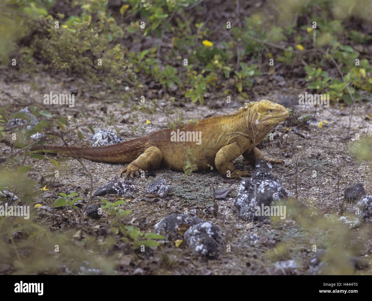 The Galapagos Islands, island Darwin, bile coast, druse head, Conolophus, subcristatus, the Pacific, island group, - Stock Image