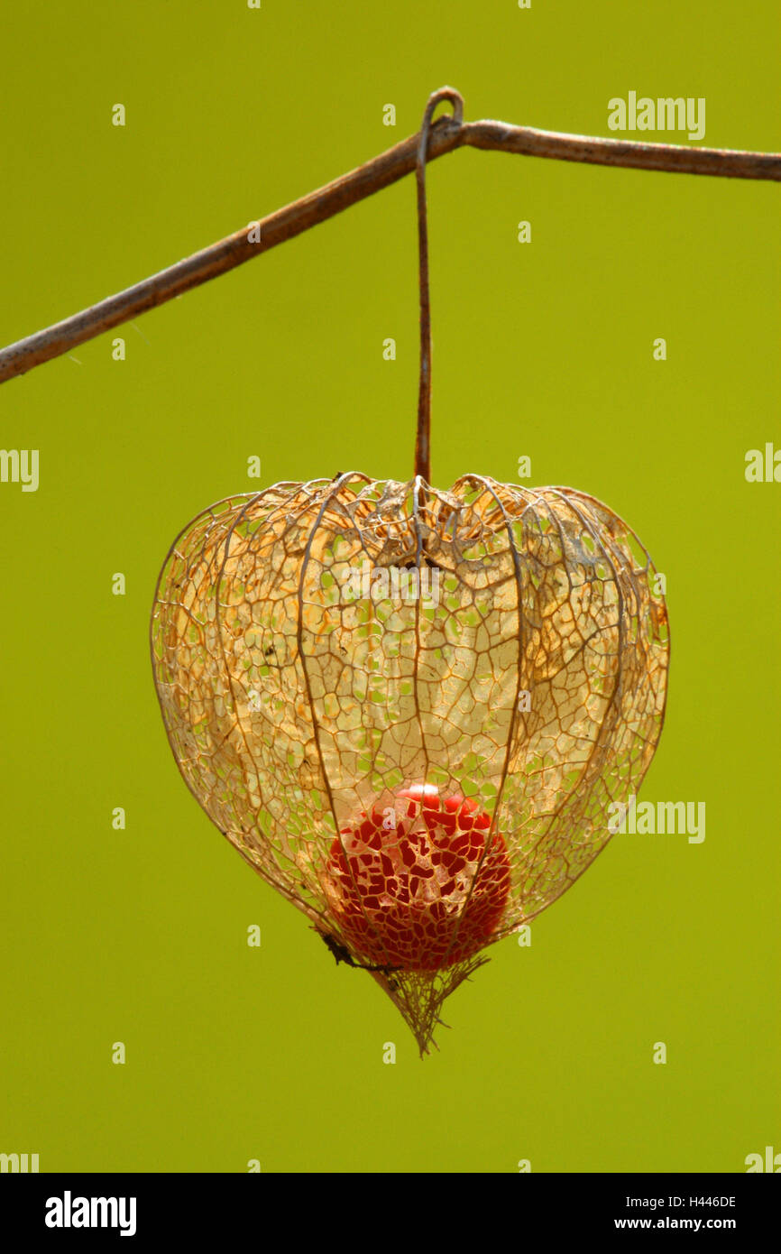 Chinese lantern, Physalis, seed head, withered, close-up, Physalis alkekengi, - Stock Image
