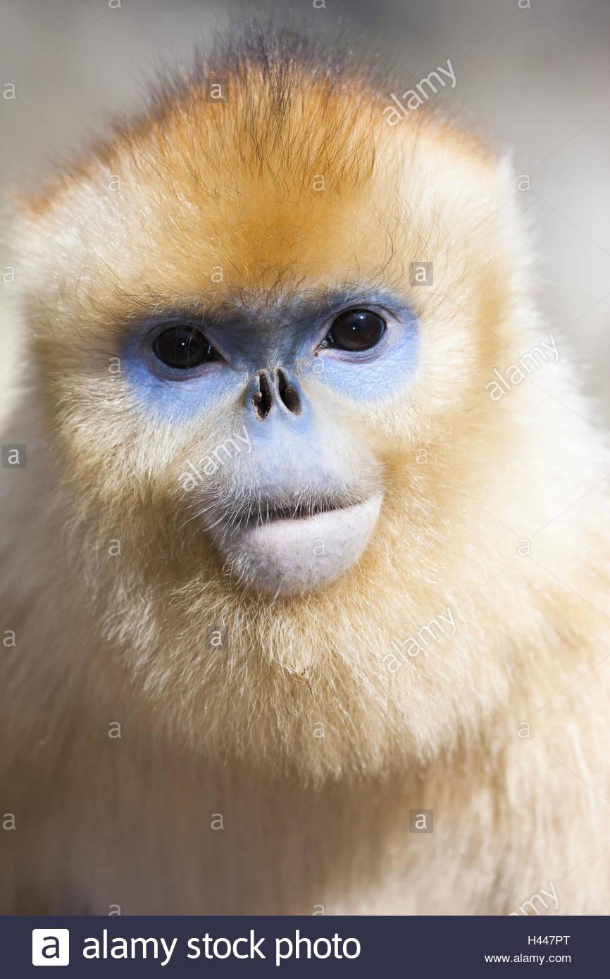 Young monkey, golden stump nose, Rhinopithecus roxellana, portrait, - Stock Image