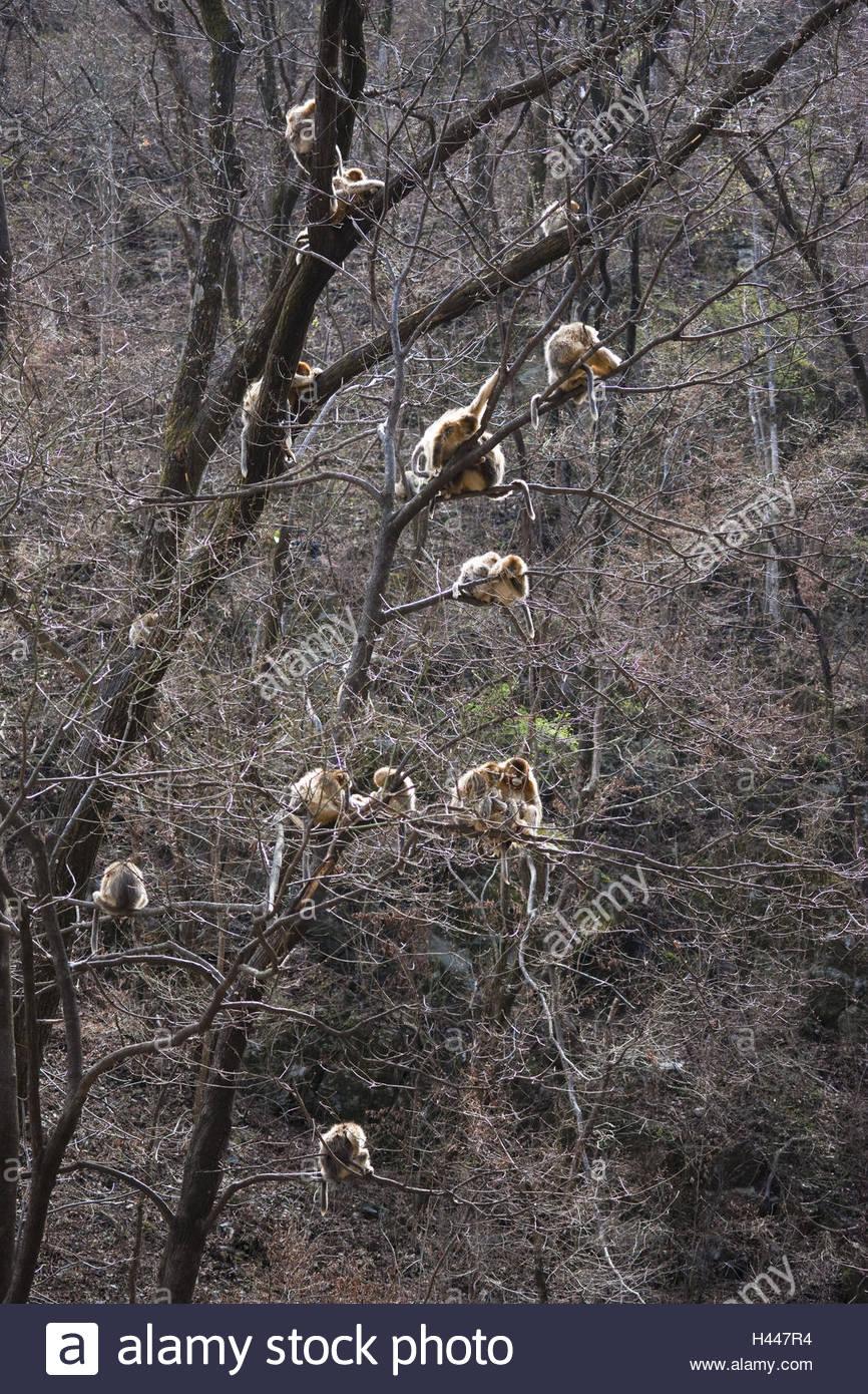 Monkeys, golden snub-nosed monkeys, Rhinopithecus roxellana, group, tree, branches, - Stock Image