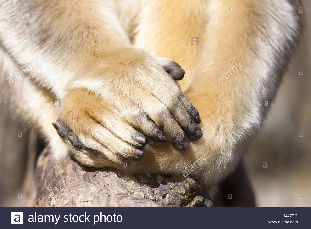 Monkey, golden snub-nosed monkeys, Rhinopithecus roxellana, detail, hands and feet, medium close-up, - Stock Image