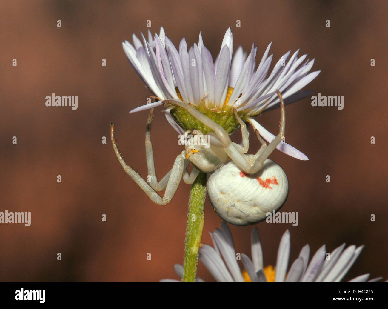 Variable crab pin, white, female with prey, fly, evening, - Stock Image