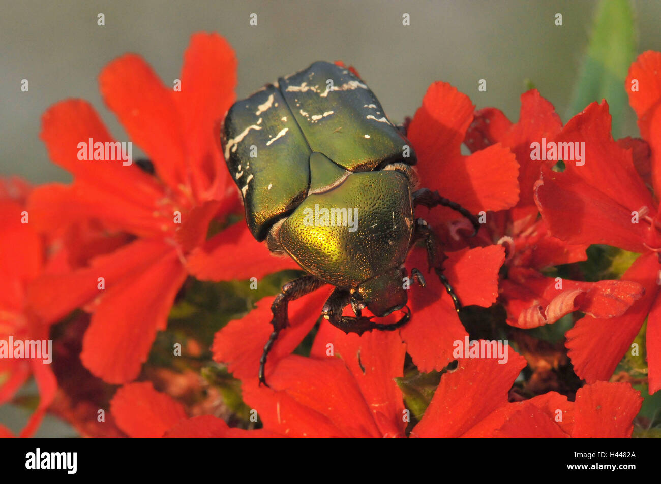 Gold-rose beetle, red blossoms, - Stock Image
