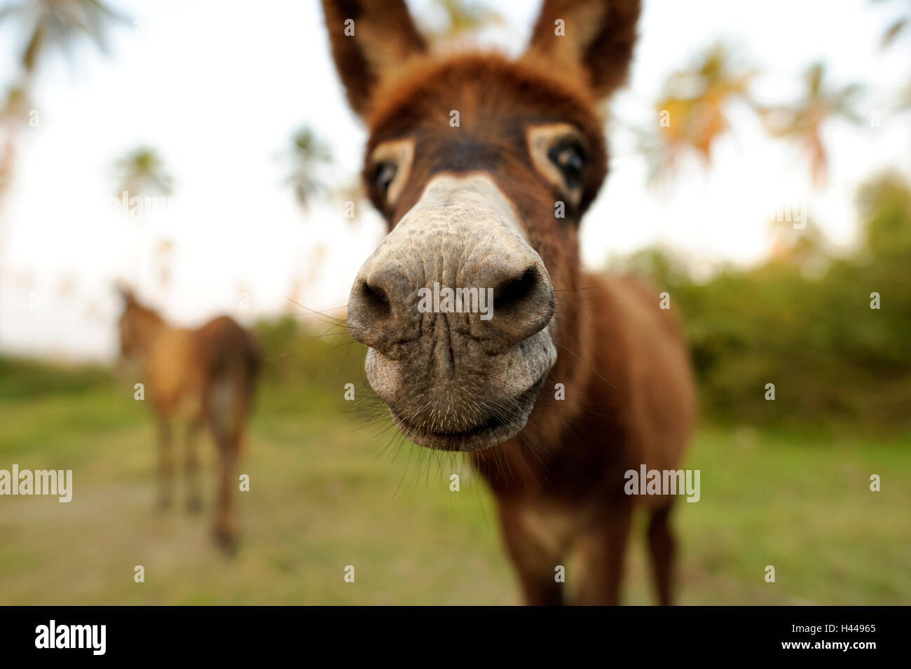 Donkey is a cute funny baby donkey sticking his nose right in your face. - Stock Image