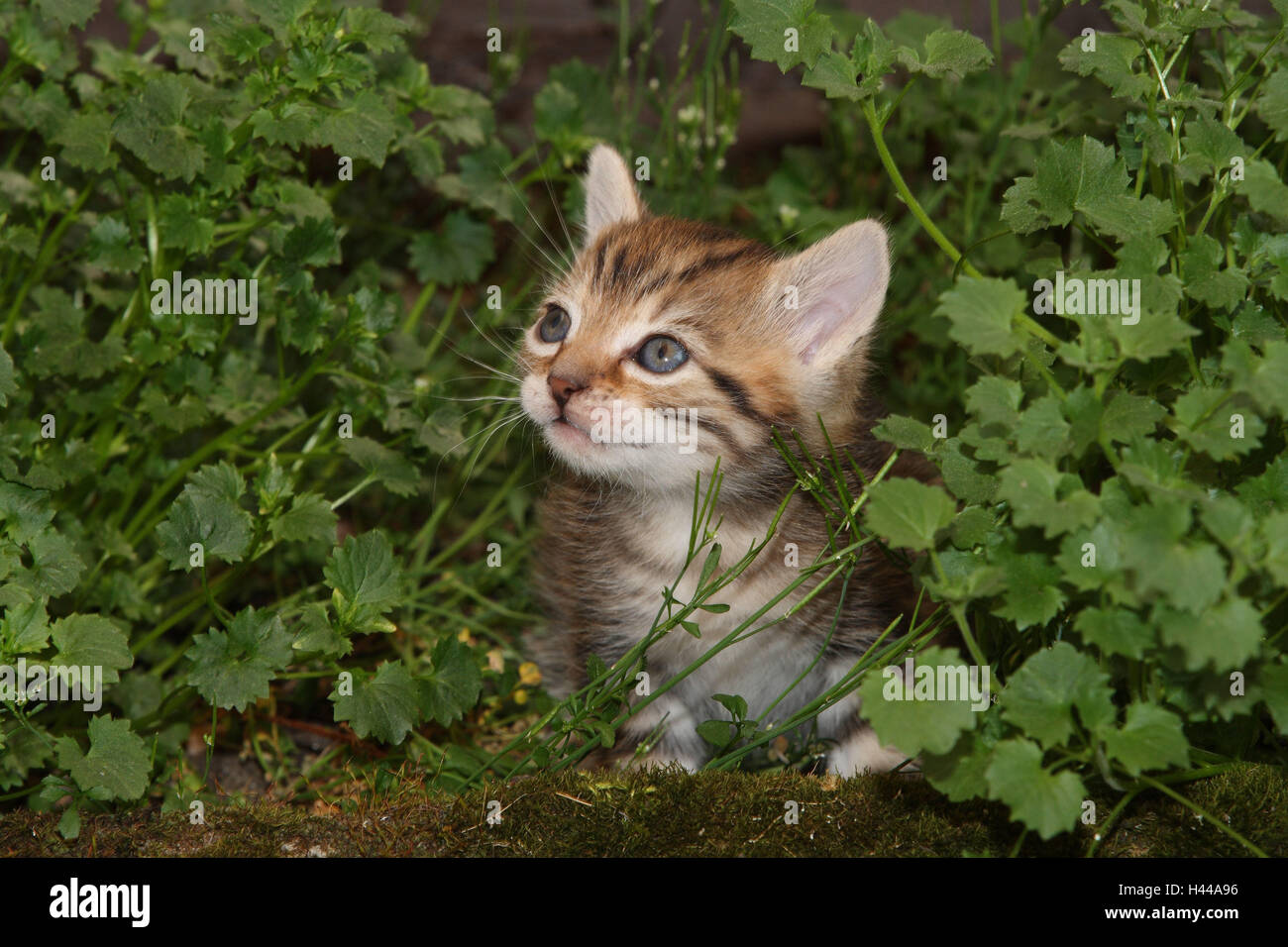 Cat, young, sit, meadow, garden, animals, mammals, pets, small cats, Felidae, domesticates, house cat, young animal, - Stock Image