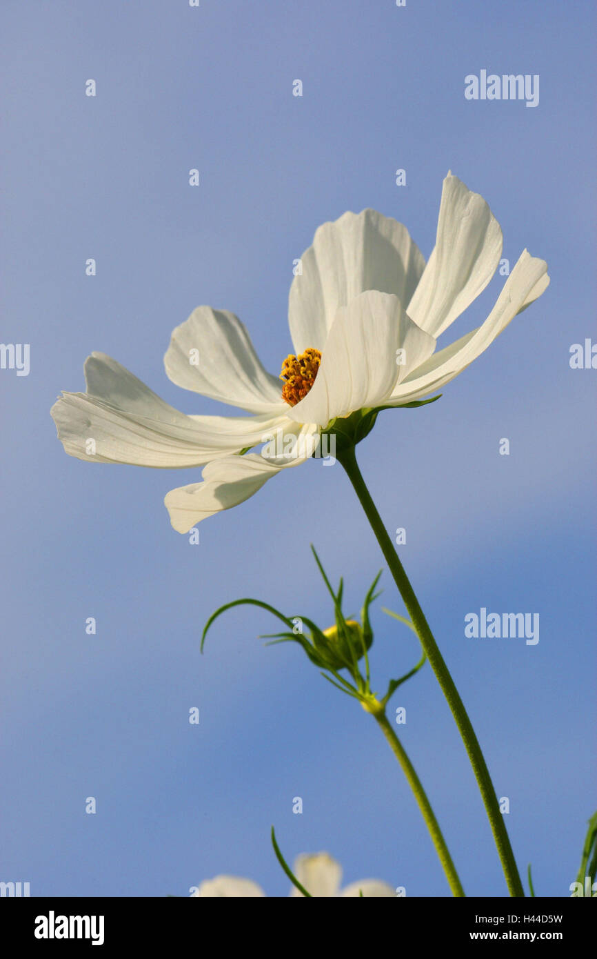 Kosmee, blossom, white, from below, - Stock Image