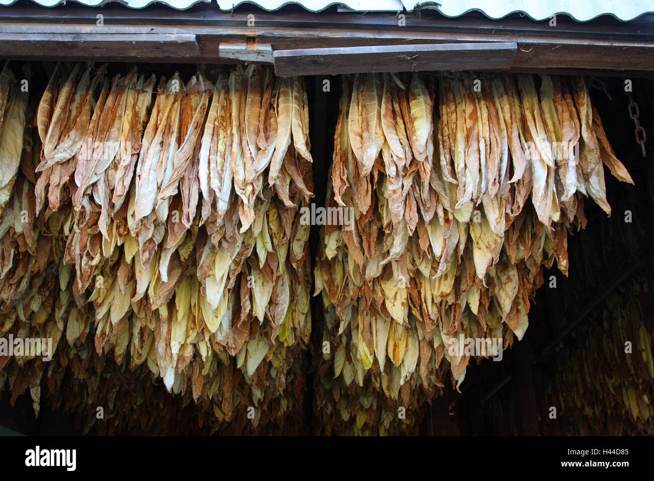 Tobacco leaves with the drying, - Stock Image