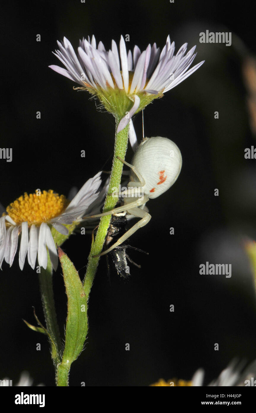 Variable crab pin, white, female with prey, fly, night, - Stock Image