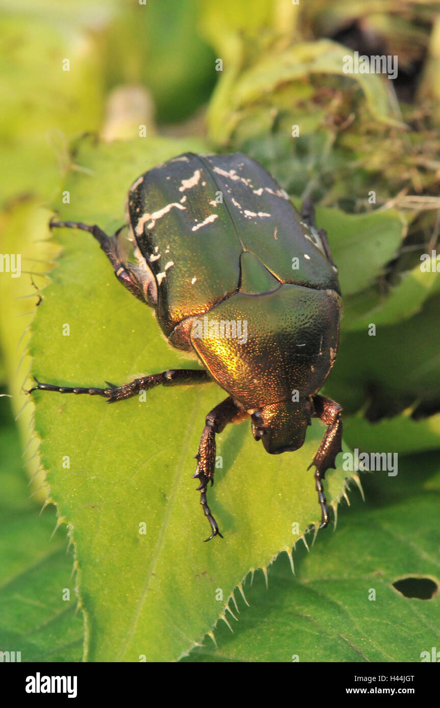 Gold-rose beetle, leaves, - Stock Image