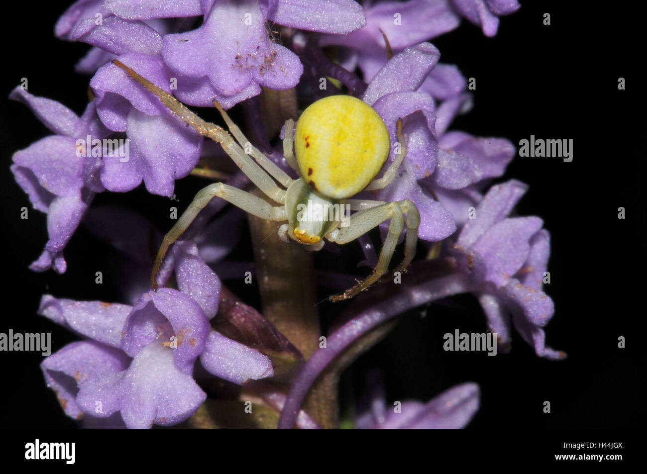 Variable crab pin, yellow abdomen, flower, mauve, - Stock Image