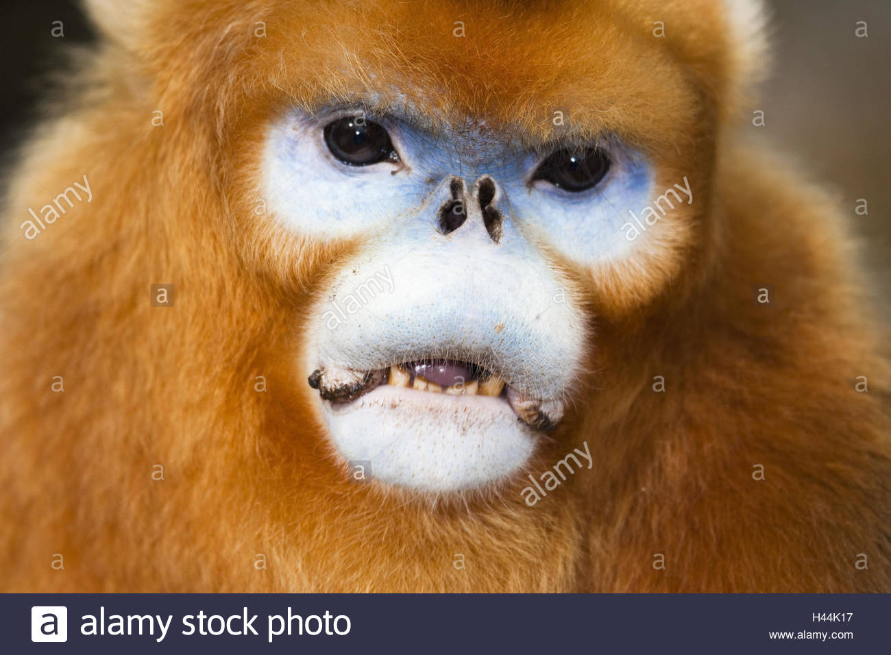 Monkeys, golden stump noses, Rhinopithecus roxellana, little men, portrait, - Stock Image