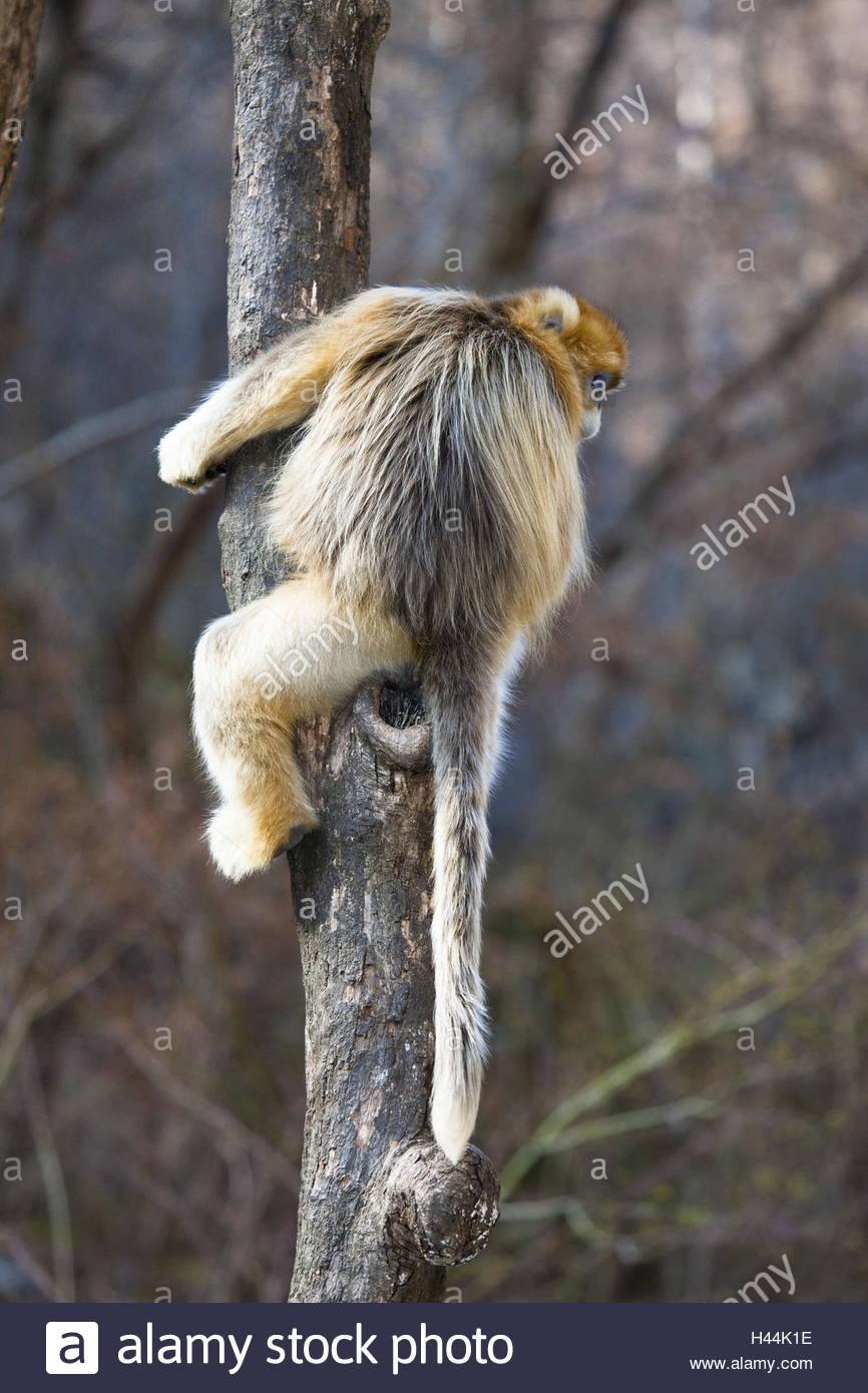 Monkey, golden snub-nosed monkey, Rhinopithecus roxellana, tree, climb, back view, - Stock Image