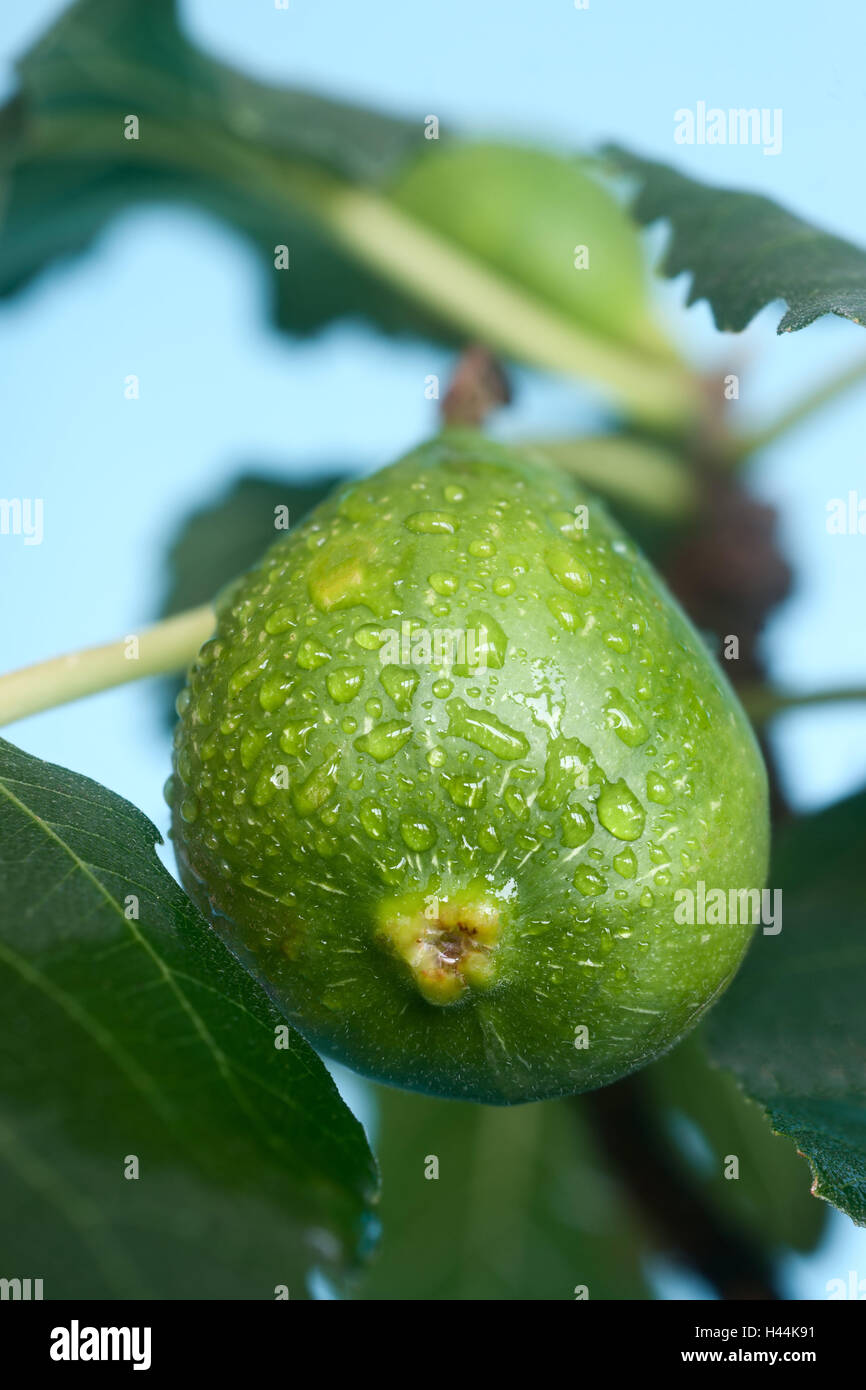 Cowardly, drops water, ficus, fruit, maturing, branch, leaves, fig tree, - Stock Image