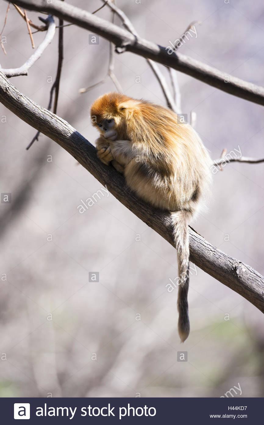 Monkeys, golden snub-nosed monkeys, Rhinopithecus roxellana, tree, branch, sleep, - Stock Image