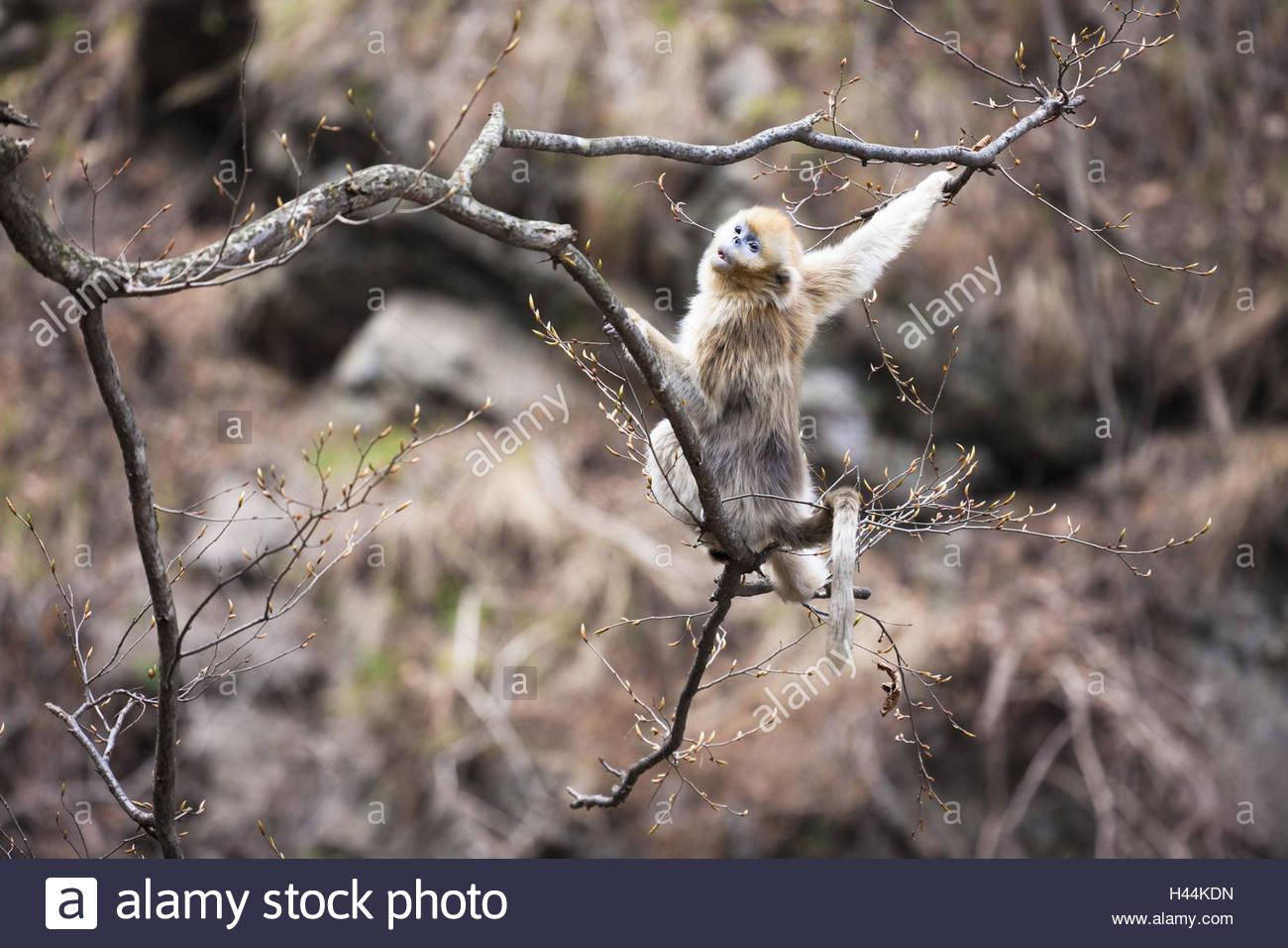 Monkey, golden snub-nosed monkeys, Rhinopithecus roxellana, tree, branches, climb, - Stock Image