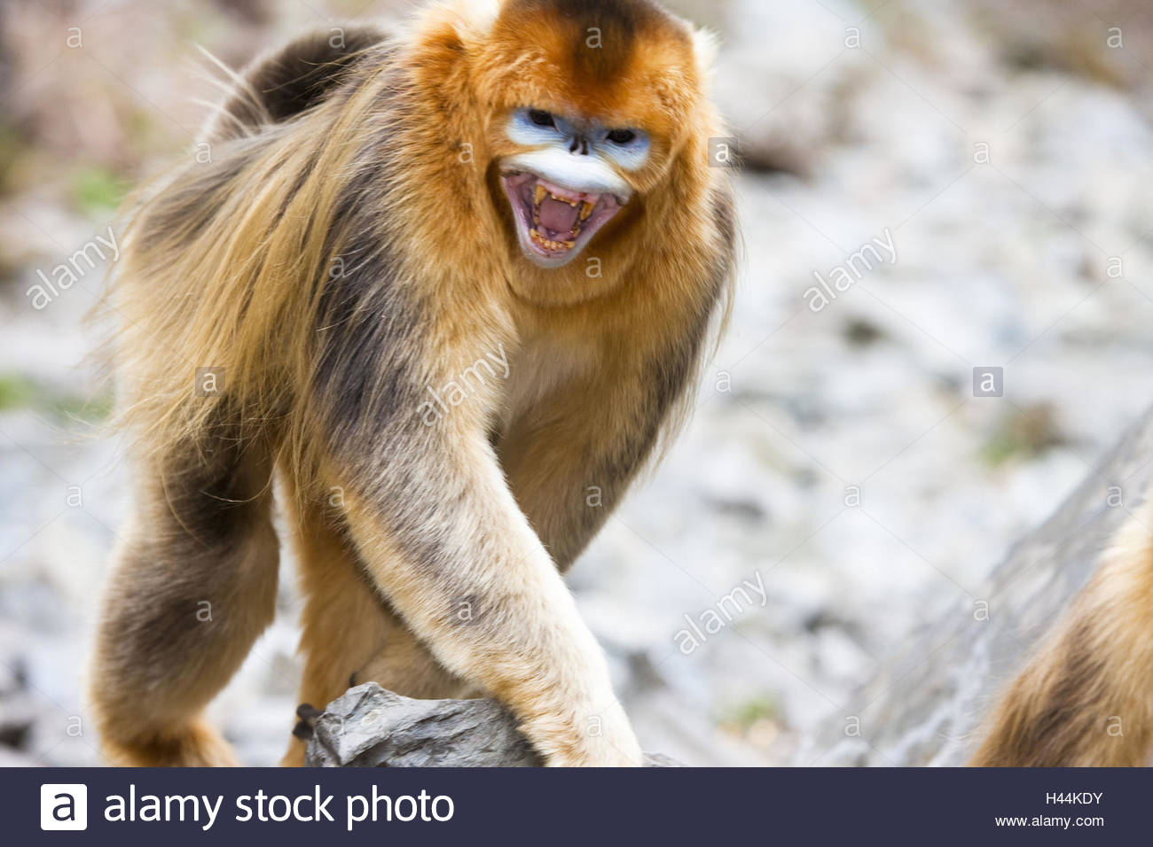 Monkeys, golden stump noses, Rhinopithecus roxellana, little men, shout, - Stock Image