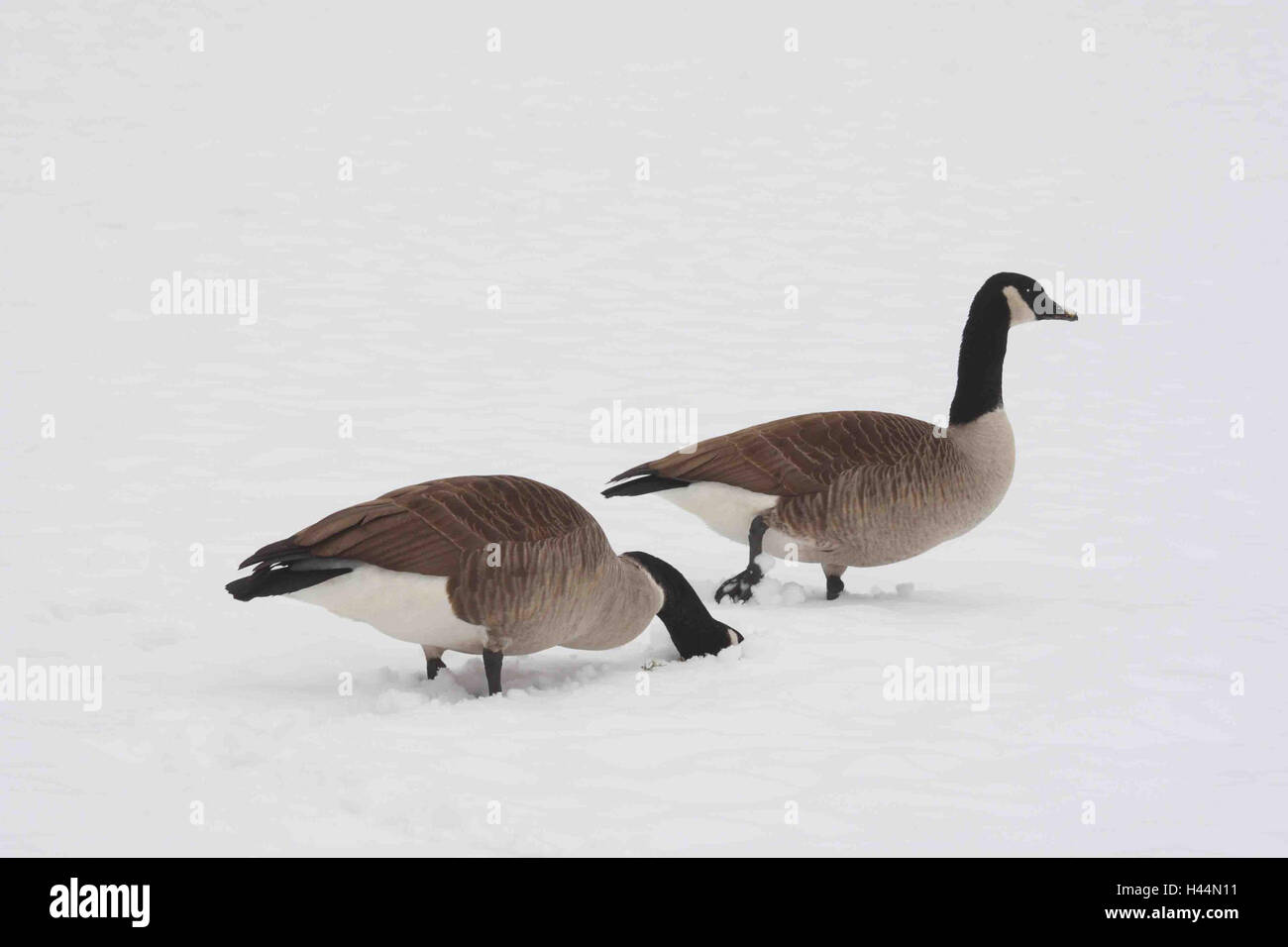 Canada geese, snow, lining search, landscape format, North America, goose, bird, geese, anatids, goose's birds, - Stock Image