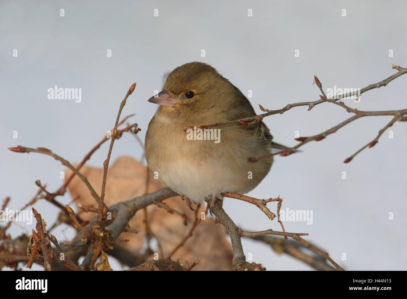 Chaffinch, branch, sit, side view, bird, songbird, finch, noble finch, sparrow's birds, winters, wild animal, - Stock Image