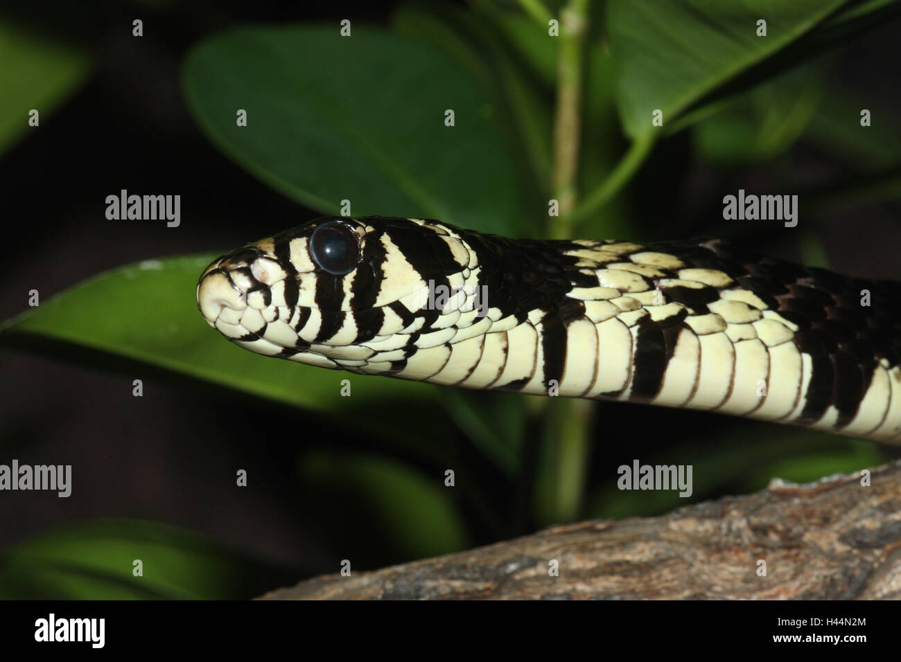 Queue, poultry eater, Spilotes pullatus, - Stock Image