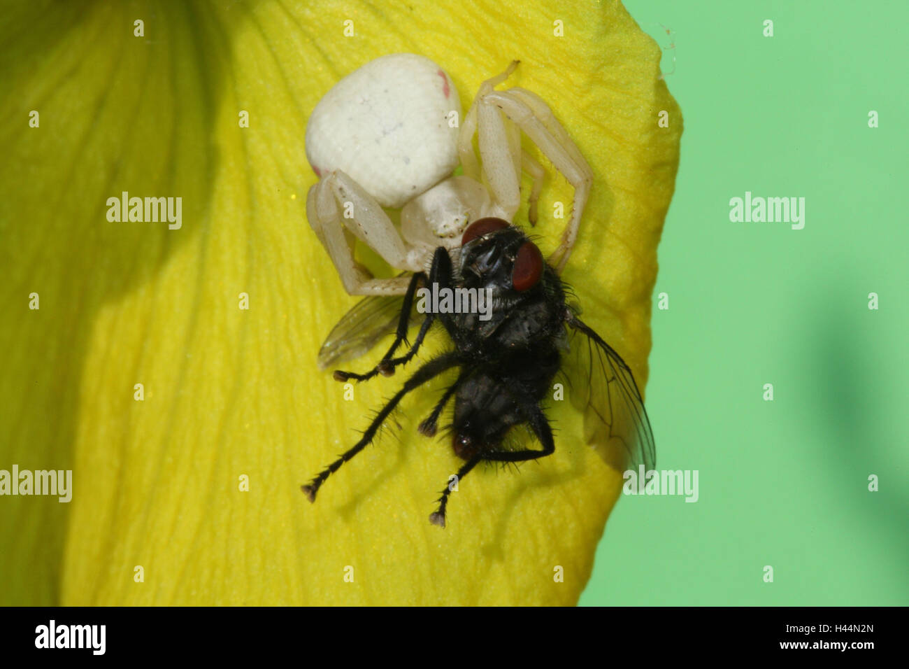 Variable crab pin, Misumena vatia, prey, fly, - Stock Image