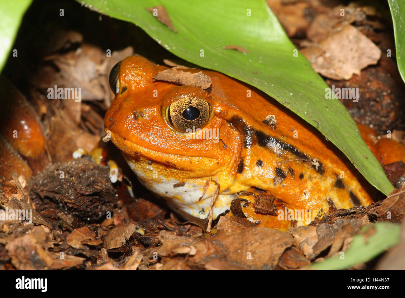 Southern tomato frog, Dyscophus guineti, - Stock Image
