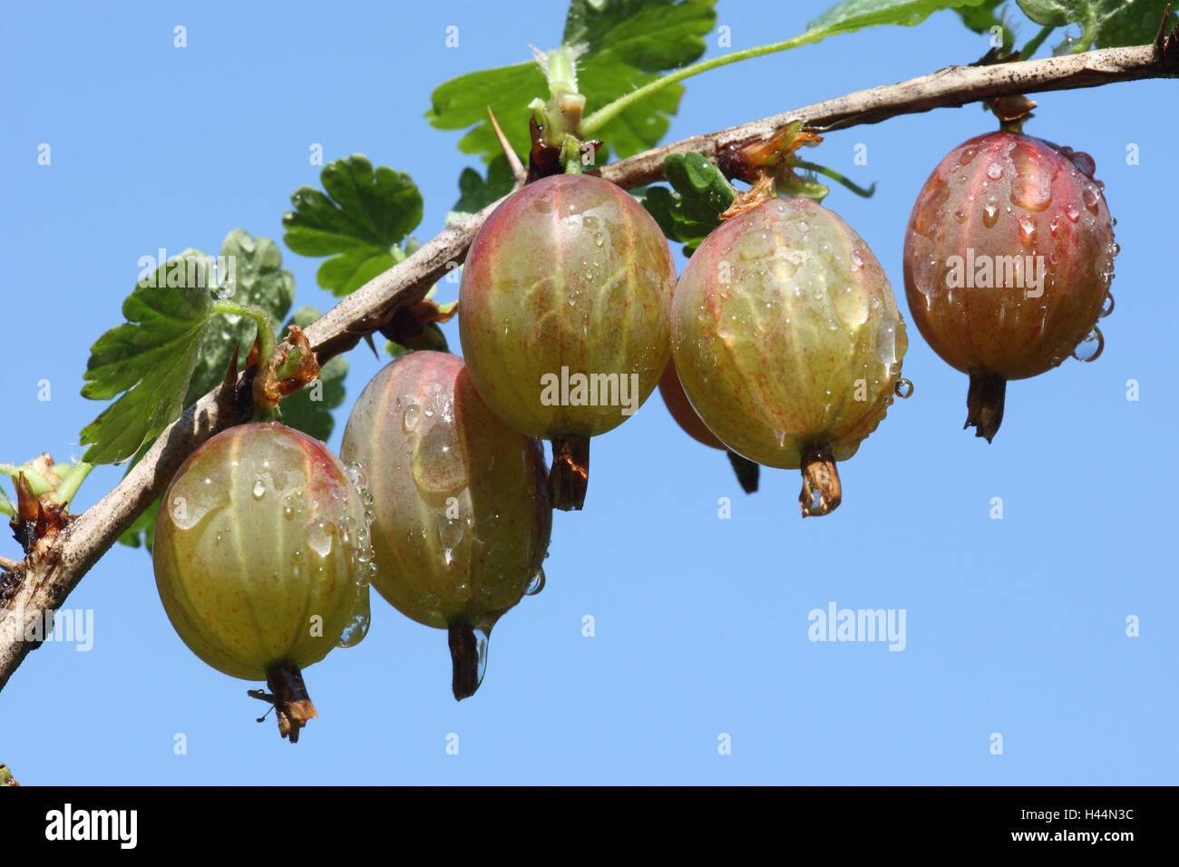 Gooseberry, Ribes uva-crispa, - Stock Image