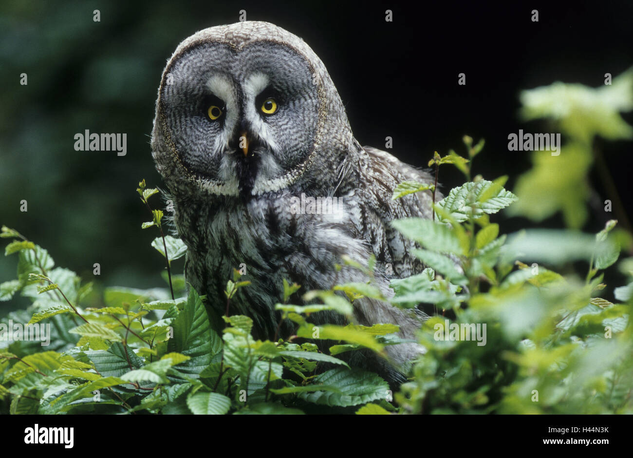 Beard owl, Strix nebulosa, portrait, - Stock Image