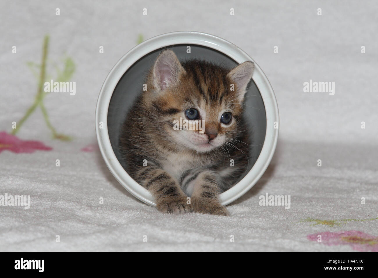 Pot, cat, young, herauskrabbeln, bed, animals, mammals, pets, small cats, Felidae, domesticates, house cat, young - Stock Image