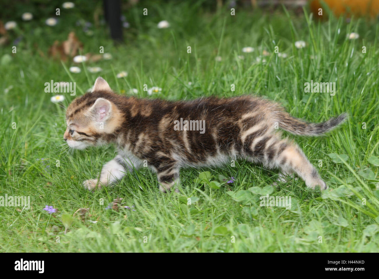 Cat, young, run, side view, meadow, garden, animals, mammals, pets, small cats, Felidae, domesticates, house cat, - Stock Image