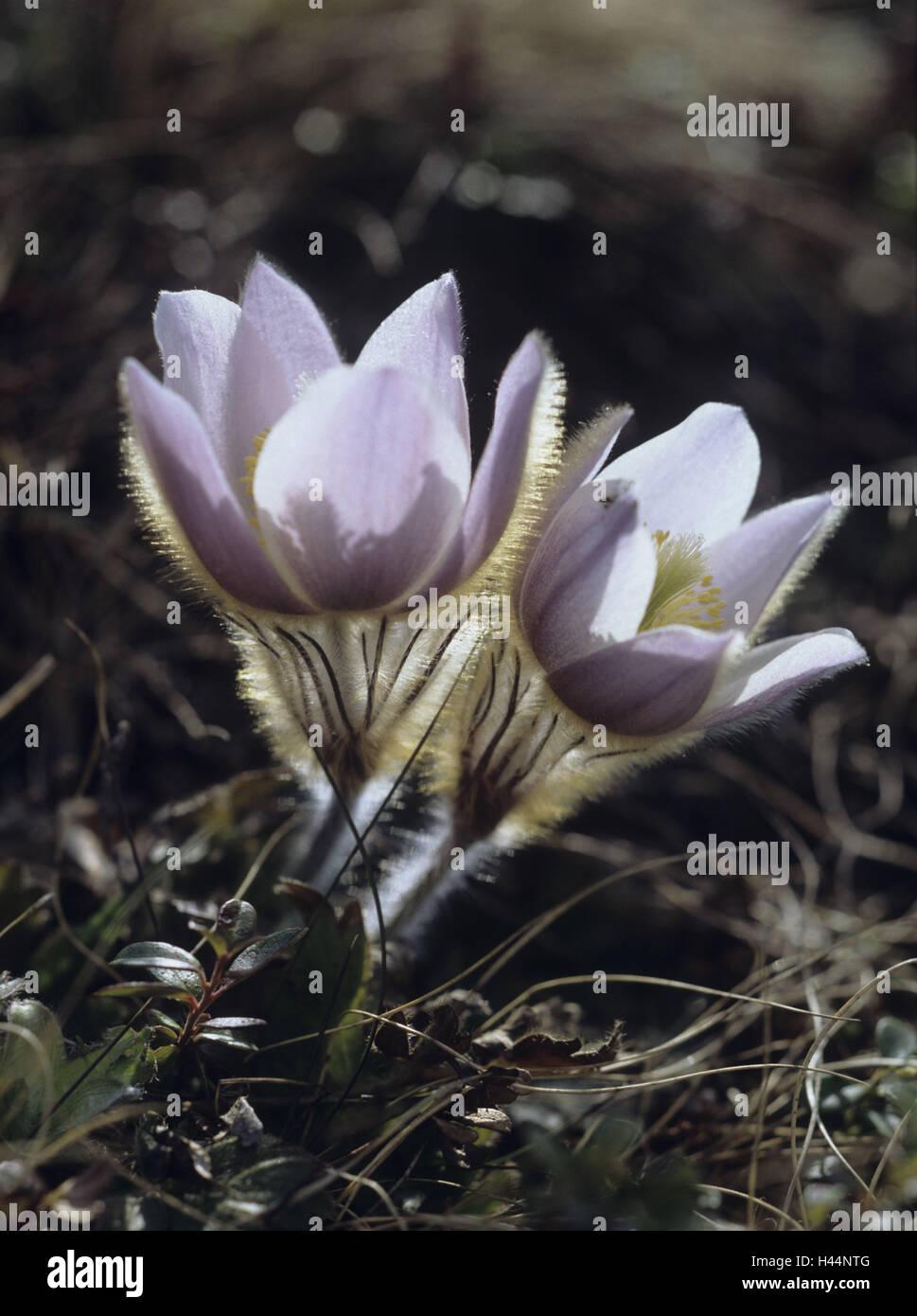 Culinary clamp, Pulsatilla spec., blossoms, two, - Stock Image