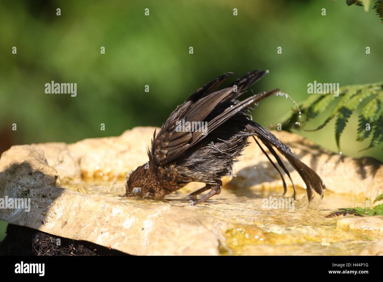 Blackbird has of a bath in bird's drinks, - Stock Image